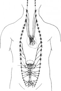 tsep-uzlov-simpaticheskoy-nervnoy-sistemyi